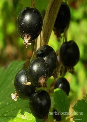 Black Ipecac Extract