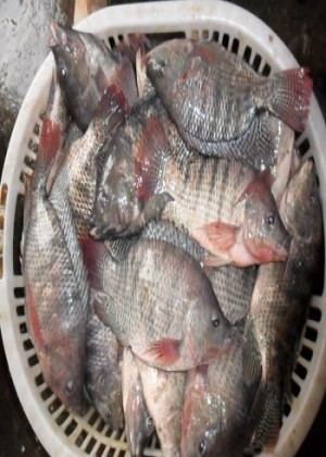 frozen bream fish